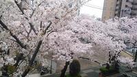 sakura (2).jpg