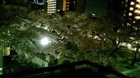 sakura (3).JPG